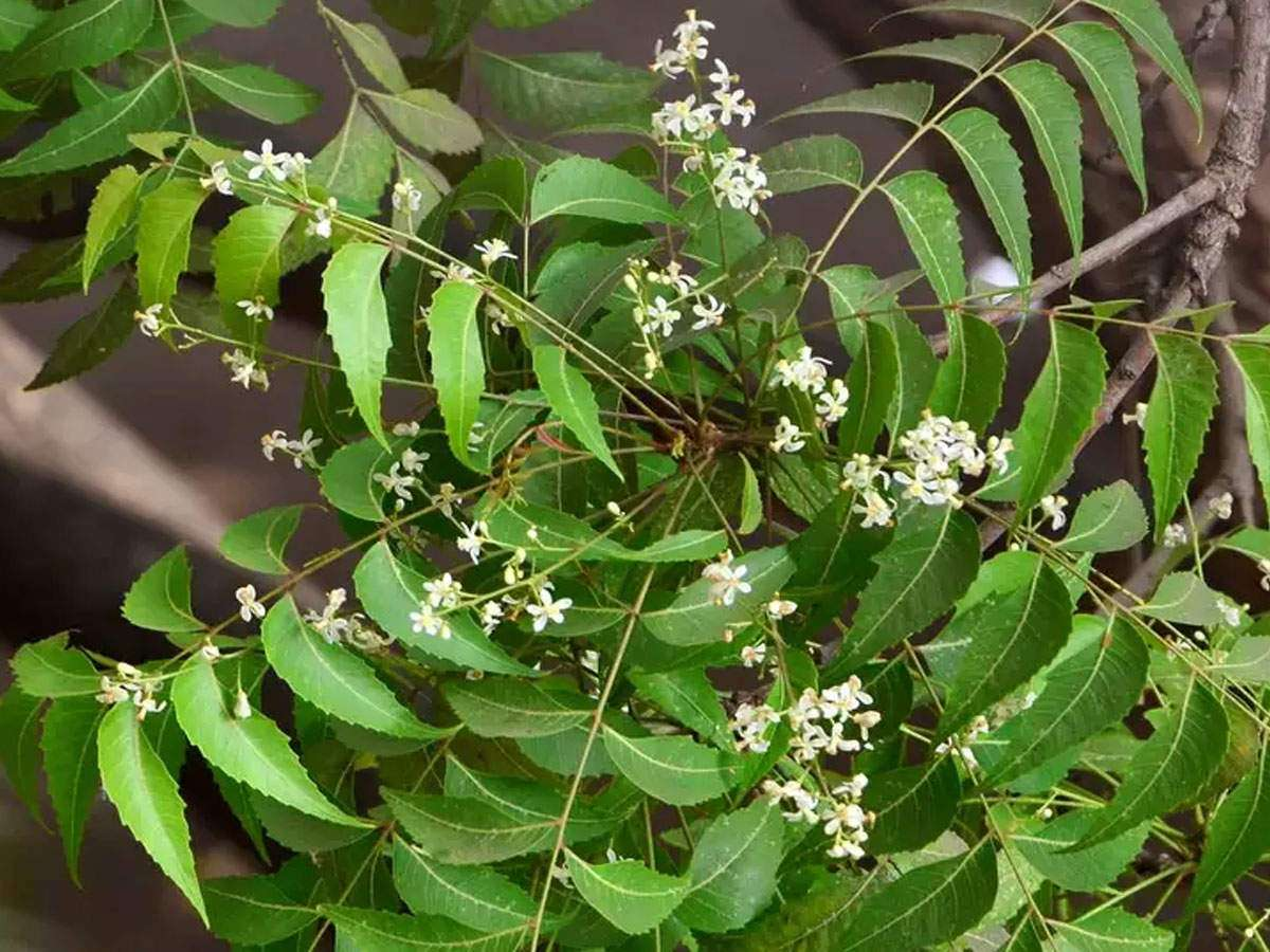 Health Benefits of Neem: Why you must have neem leaves daily in the