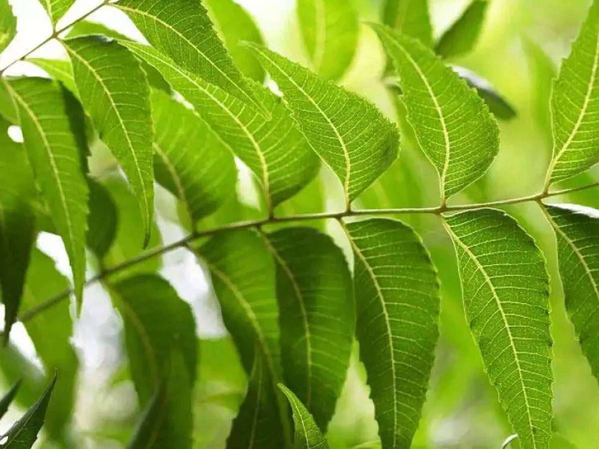 Health Benefits of Neem: Why you must have neem leaves daily