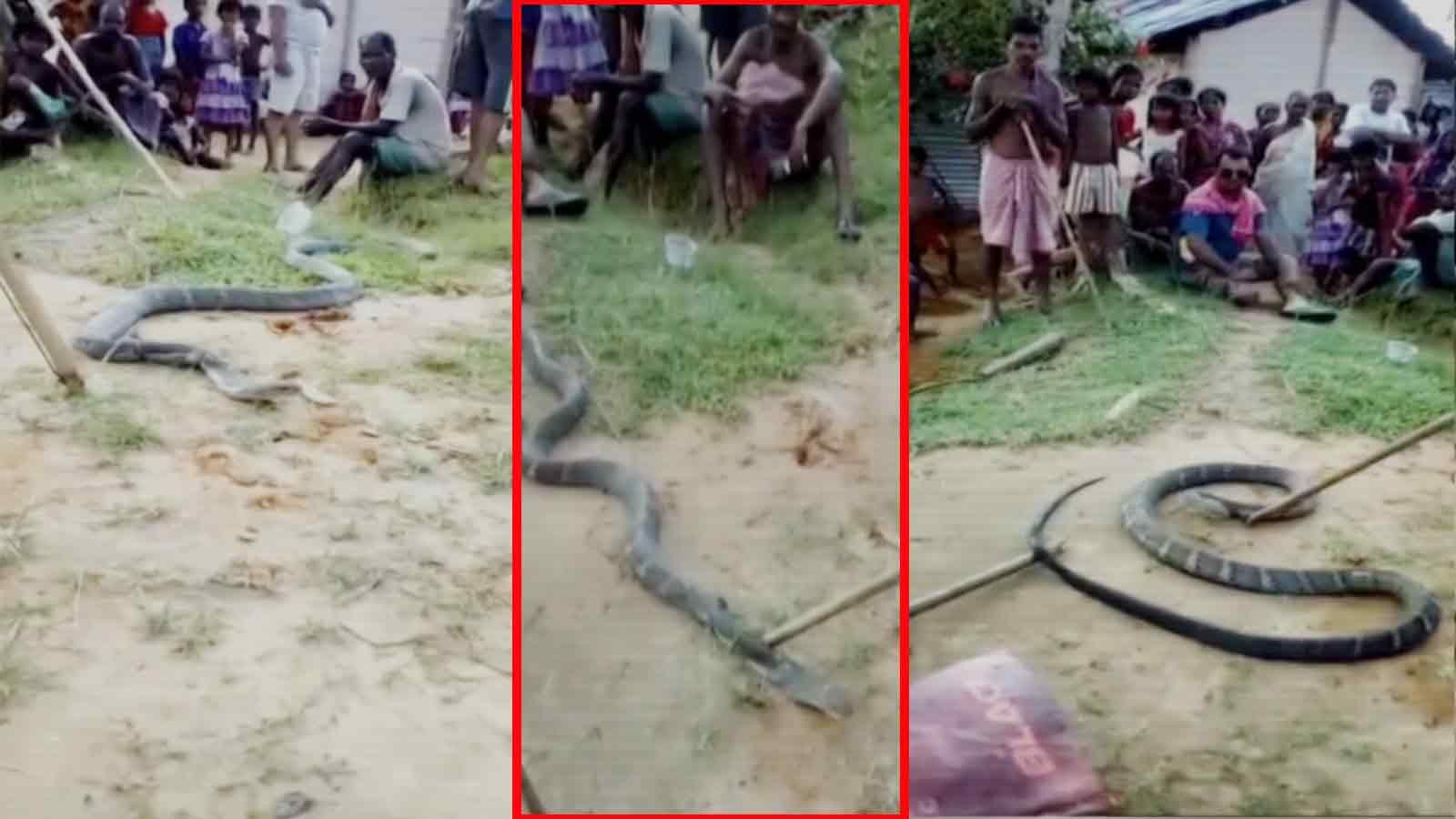 cobra hatchlings: Latest News, Videos and Photos of cobra
